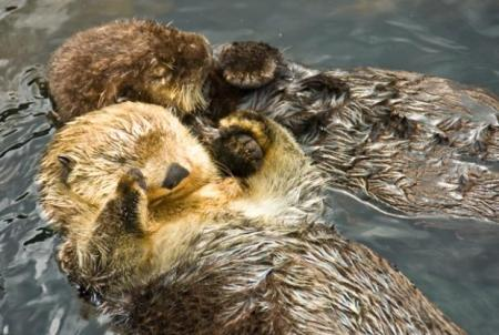 sea-otters-hold-hands